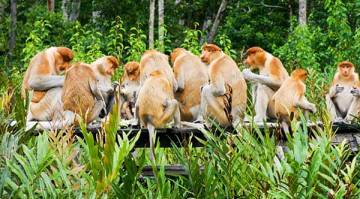 Proboscis-monkeys